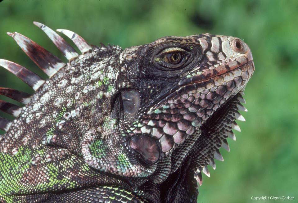 Iguana In Saba Caribbean Photo By Glenn Gerber