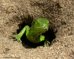 Iguana_iguana_StLucia_MatthewMorton