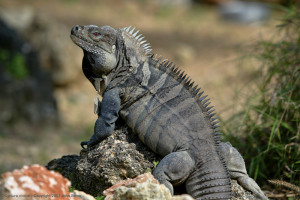 Male Ricord's Iguana. Photo by John Binns.