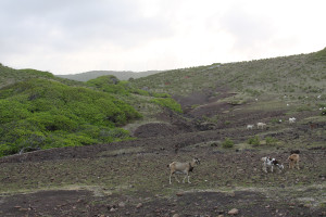 Goats grazing on La Désirade. Photo by ONCFS.