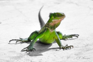 Juvenile Iguana delicatissima. Photo by Gregory Moulard.
