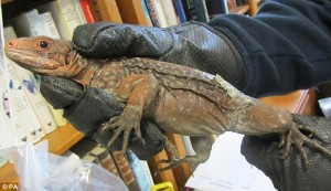Contraband: The San Salvador rock iguanas are native to the Bahamas and classed as being under threat of extinction.