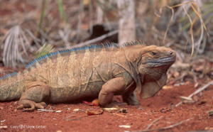 Cyclura_collei. Photo by Glenn Gerber.