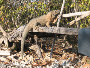 Jamaican Iguana at Hellshire's South Camp. Photo by Rick Van Veen.
