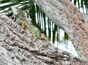 Common Green Iguana in Columbia. Photo by Laura Rubio.