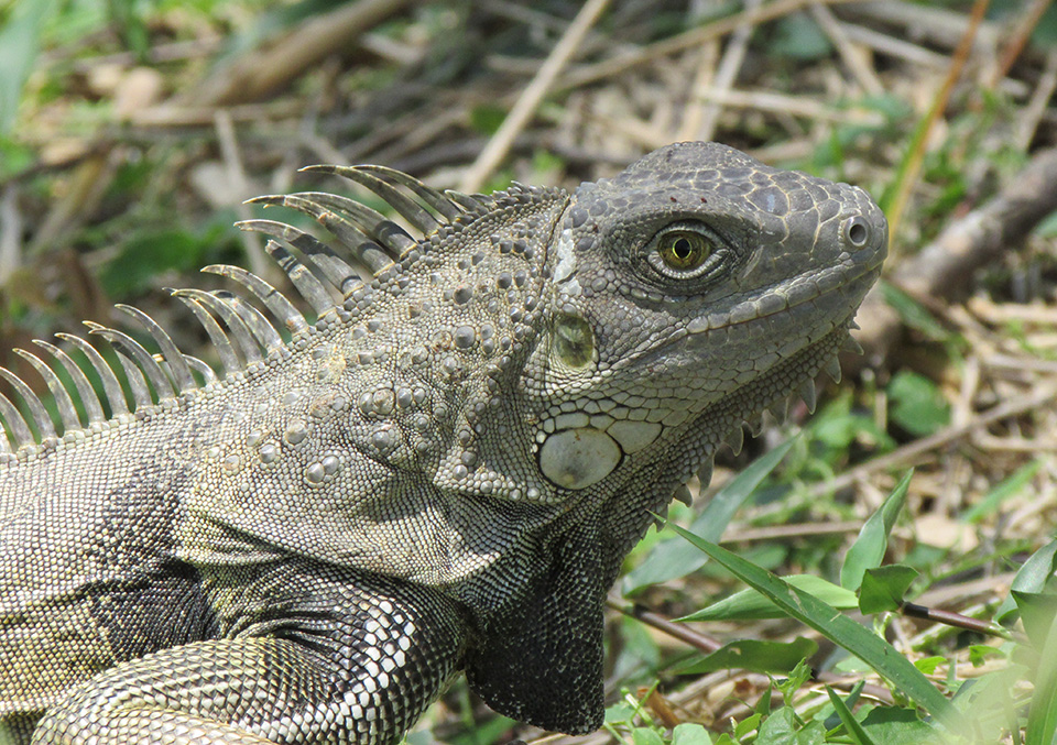 Sexual selection and sexual dimorphism in some herbivorous lizards