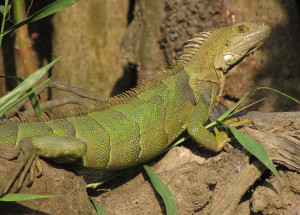Common Green Iguana in the Magdalena river drainage. Photo by Freddy Grisales.