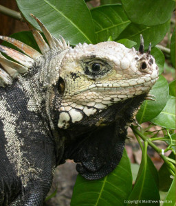 Iguana iguana in St. Lucia, Caribbean. Photo by Matthew Morton.