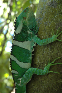 Colorful-Male-Crested-Iguana-on-Monuriki