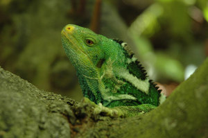 Released-Crested-Iguana-taking-in-his-new-surroundings